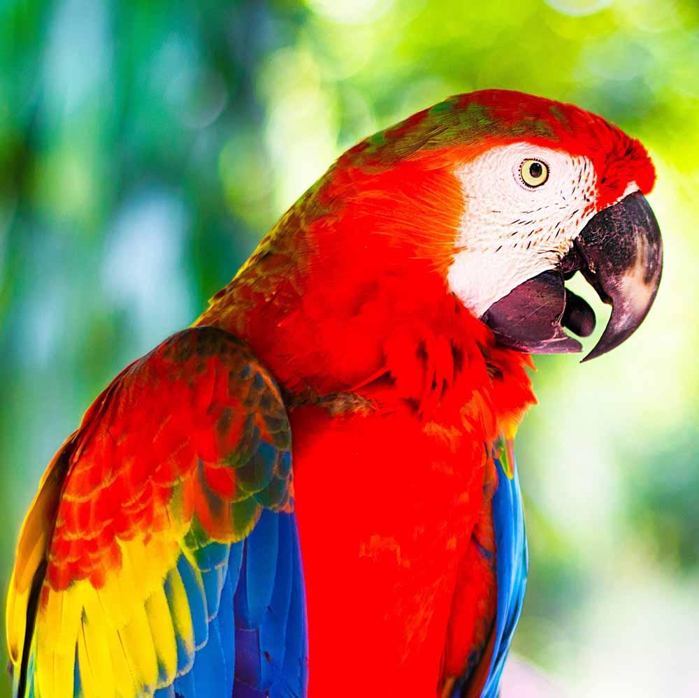 Холст с красками 20х20 по номер. в кор. (12цв.) Красный попугай Ара (Арт. ХК-8829)